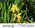菖蒲の花 77431344