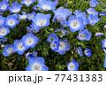 清水公園のネモフィラ 77431383