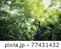 新緑の遊歩道 77431432