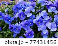 パンジーの花(アップ) 77431456
