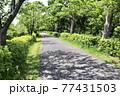 (手賀沼沿い)新緑の遊歩道 77431503