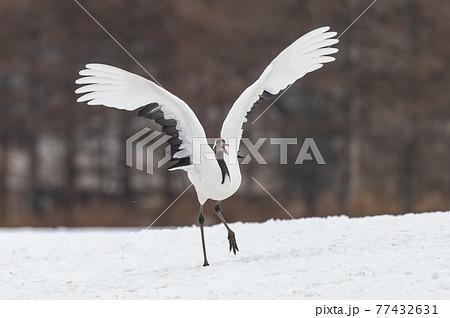 道東の冬景色 丹頂鶴 77432631