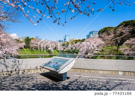 東京都千代田区 春の千鳥ヶ淵の桜と展望台 77435166