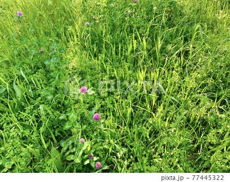 ムラサキツメクサの咲く草地に差し込む光り/The light 77445322