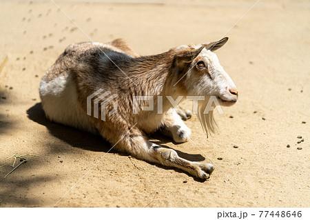 ヤギ 哺乳類 77448646