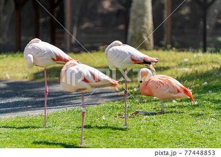 フラミンゴ 鳥類 77448853