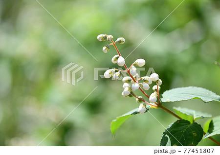 ウツギ(空木)の花と蕾 77451807