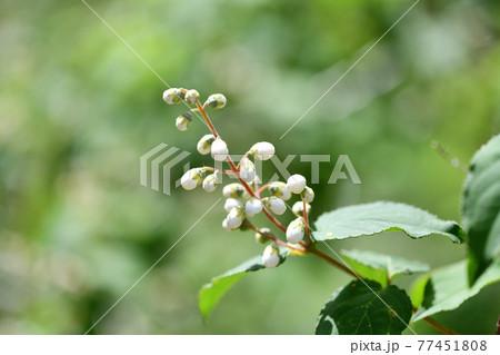 ウツギ(空木)の花と蕾 77451808
