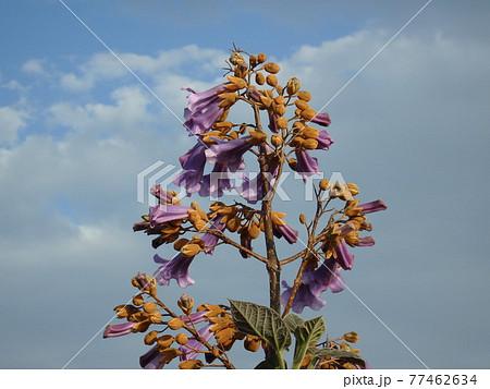 せんだい農業園芸センター脇の大沼で咲いている桐の花と青空 77462634