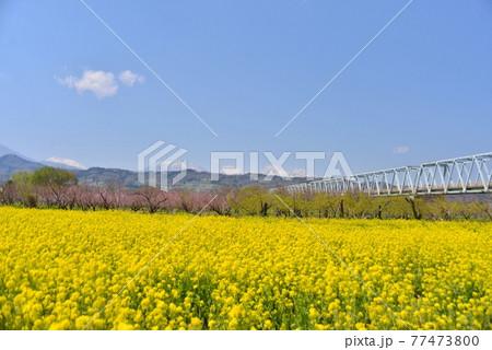 千曲川河川公園の菜の花畑と小布施橋と青空 77473800