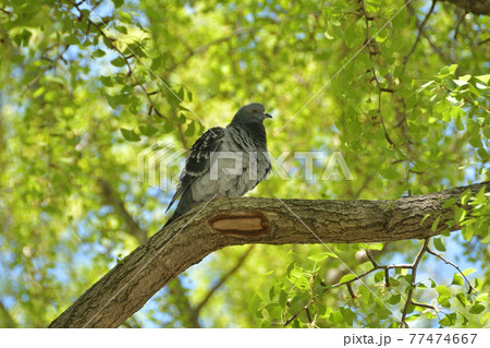 青々としたイチョウの木にとまる鳩 77474667