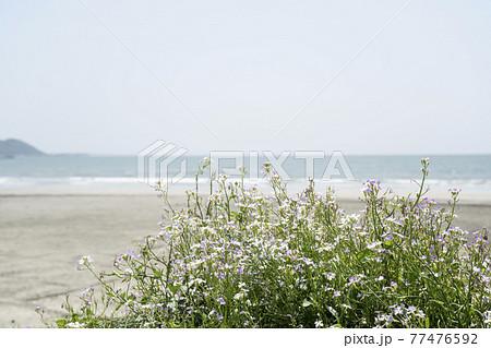 神奈川県鎌倉市由比ガ浜 だいこんの花と浜辺の風景 77476592