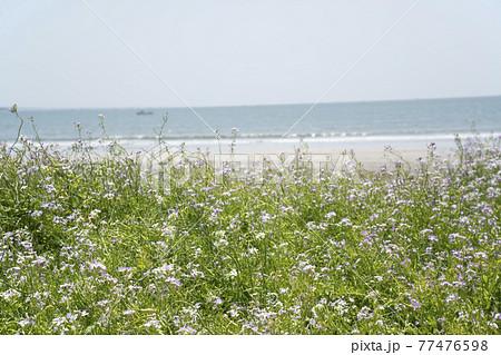 神奈川県鎌倉市由比ガ浜 だいこんの花と浜辺の風景 77476598