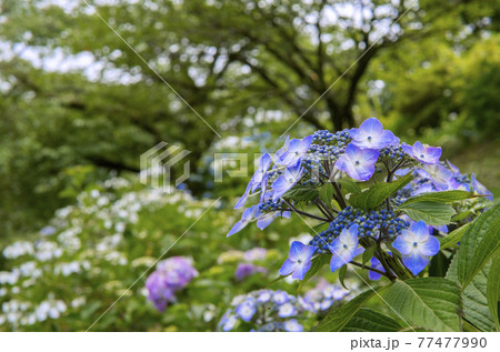 青い額紫陽花をアップ/美の山公園(埼玉県:秩父市・小鹿野町) 77477990