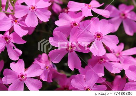 春の公園に咲くシバザクラノピンクの花 77480806