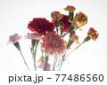色とりどりのカーネーションの花 母の日 77486560