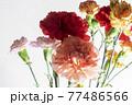 色とりどりのカーネーションの花 母の日 77486566