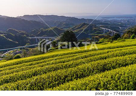 (静岡県)もうすぐ茶摘み 吉原の茶畑 77489909