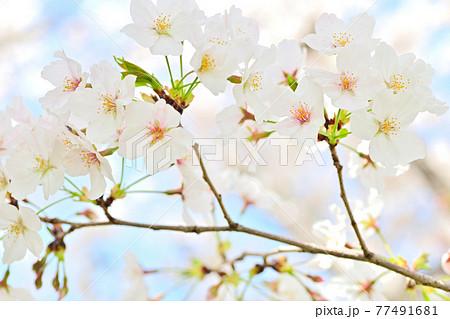 春の花 さくら 77491681