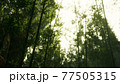 green bamboo forest with morning sunlight 77505315