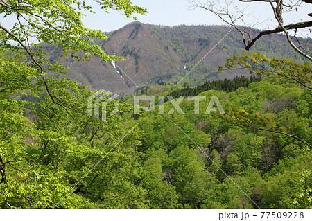戸板山と新緑のブナの森の眺め-癒しの森から 福島県只見町 77509228