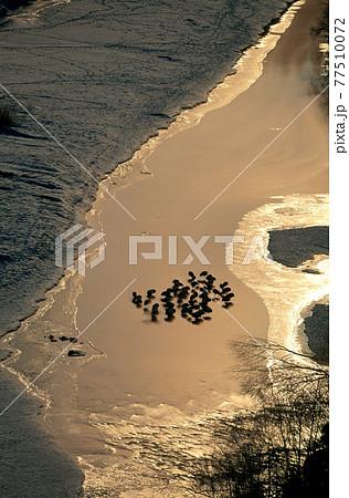 月光に照らされたタンチョウのねぐら(北海道・釧路市) 77510072