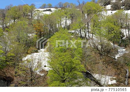 残雪と新緑のブナ樹林-国道252号アイヨシの滝展望地から 福島県只見町 77510565