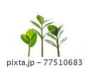成長する三株の新芽 77510683