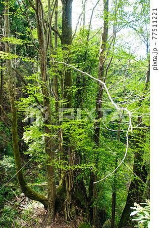 桂の巨樹 【和歌山県紀の川市】 77511221