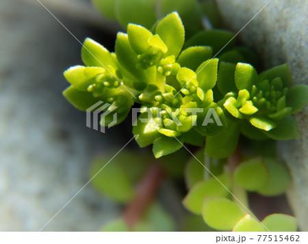 岩の間から緑の茎を出すツルマンネングサ 77515462