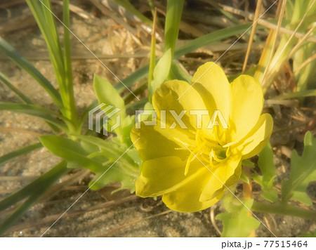 朝日に向かって花を広げる小待宵草 77515464