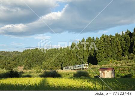新潟県小千谷市・JR飯山線 実ったコシヒカリの田んぼを走る列車 77522448
