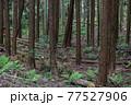 杉林の間伐 77527906