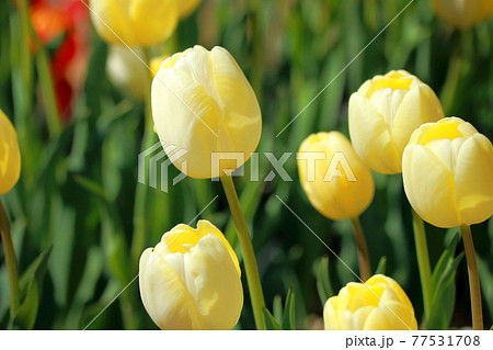清楚な黄色いチューリップ(銀盃) 77531708