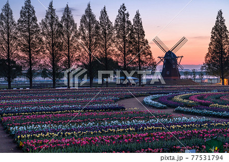 《千葉県》風車とチューリップ畑・あけぼの山農業公園の夜明け 77531794