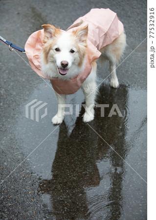 雨合羽を着て雨の中を散歩するボーダーコリー 77532916