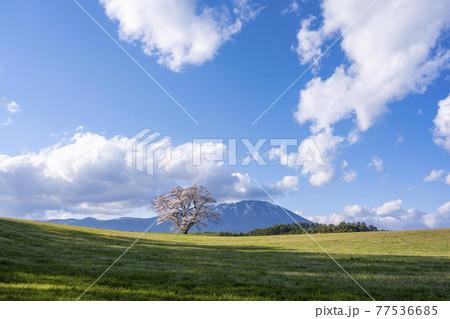 岩手県 小岩井農場の一本桜 77536685