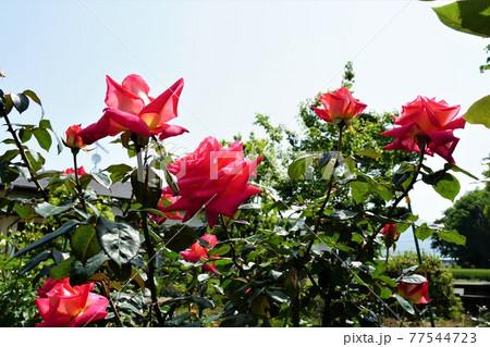 バラの香りのする満開のピンク色のバラの花 ・イメージ 77544723