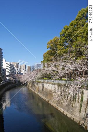 江戸川橋の桜 一休橋からの上流側の神田川沿いの桜 77546523