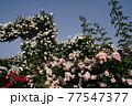カラフルな花が横浜の公園に咲いています。 77547377