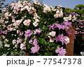 カラフルな花が横浜の公園に咲いています。 77547378