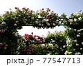 バラの花。アーチ。カラフルな花が横浜の港の見える丘公園に咲いています。 77547713