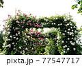 バラの花。アーチ。カラフルな花が横浜の港の見える丘公園に咲いています。 77547717