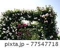 バラの花。アーチ。カラフルな花が横浜の港の見える丘公園に咲いています。 77547718