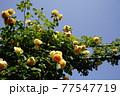 バラの花。カラフルな花が横浜の港の見える丘公園に咲いています。 77547719