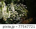 白い花。カラフルな花が横浜の港の見える丘公園に咲いています。 77547721