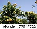 黄色のバラの花。アーチ。バラの花。カラフルな花が横浜の港の見える丘公園に咲いています。 77547722