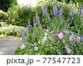 カラフルな花が横浜の港の見える丘公園に咲いています。 77547723