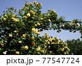 黄色のバラの花。アーチ。バラの花。カラフルな花が横浜の港の見える丘公園に咲いています。 77547724