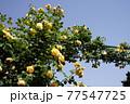 黄色のバラの花。アーチ。カラフルな花が横浜の港の見える丘公園に咲いています。 77547725